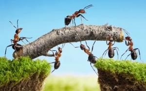 ants-teamwork